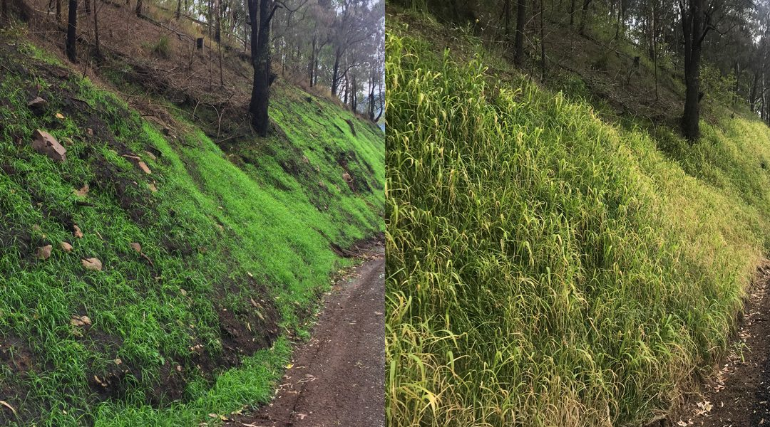 Lamington revegetation success story